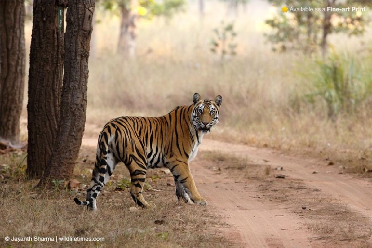 Maharashtra: 5 elephants, 'tusked' with entrapping man-eating tigress, being sent back