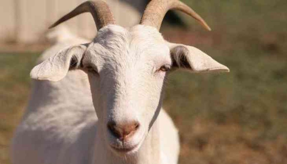 Pregnant goat dies after being gang-raped in Haryana, Twitterati starts #JusticeForGoat campaign