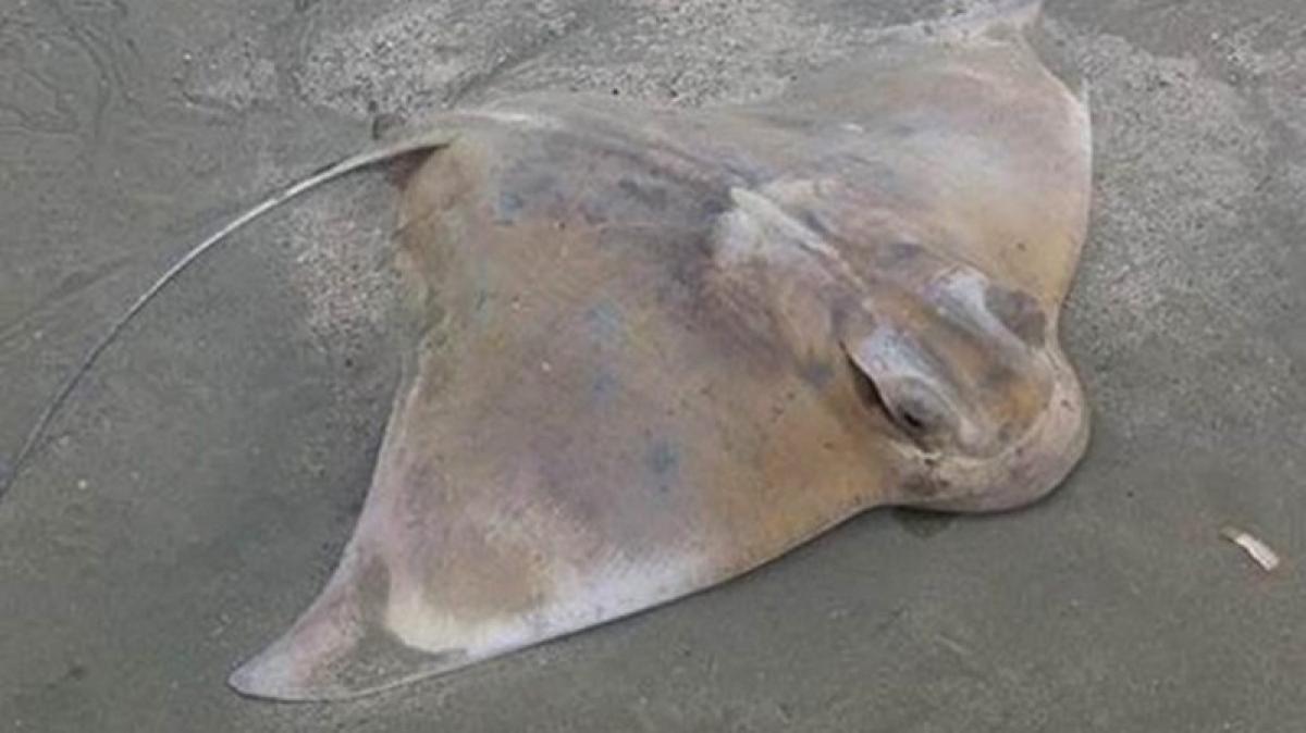 Mumbai: Beware of stingrays