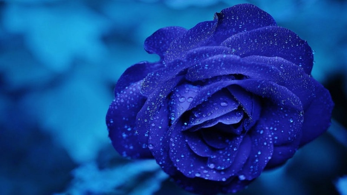 Blue roses to soon bloom in your garden
