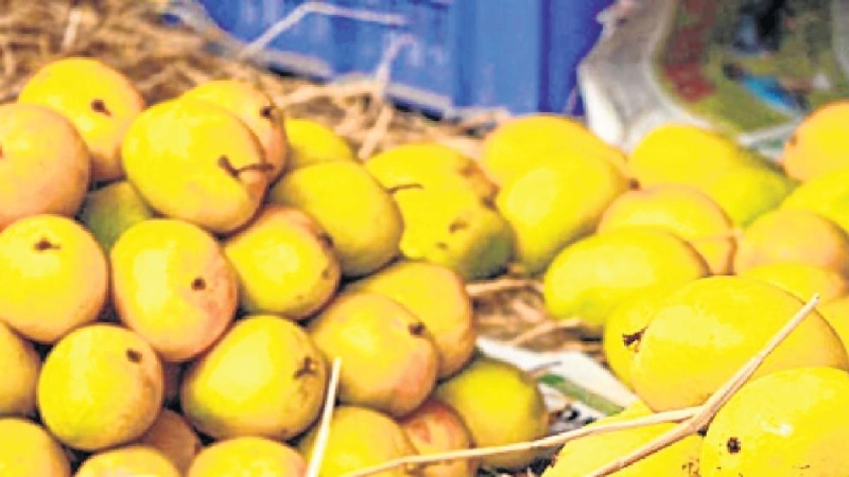 Maharashtra: Alphonso mango from 5 districts gets GI tag