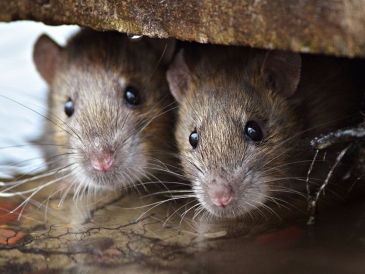 Cellphone causes cancer in rats, not humans
