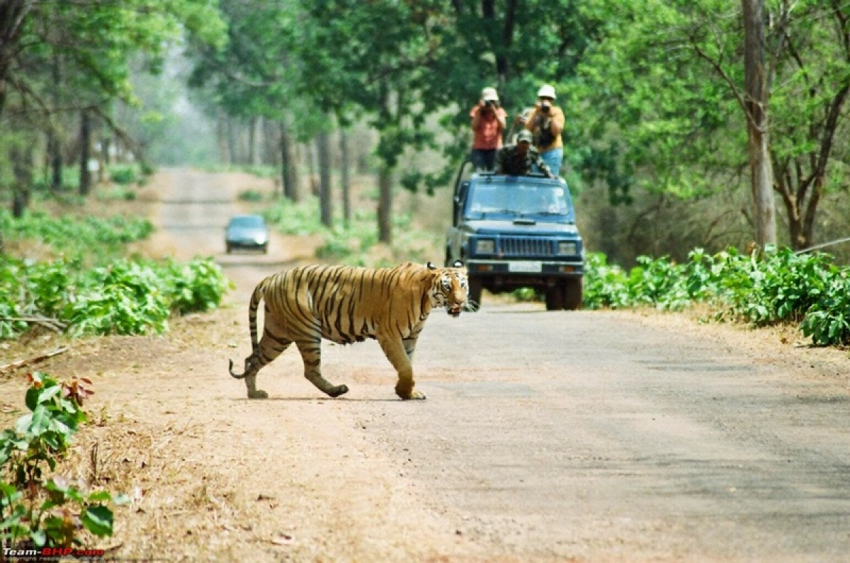 Indian tigers stressed out: Blame it on humans