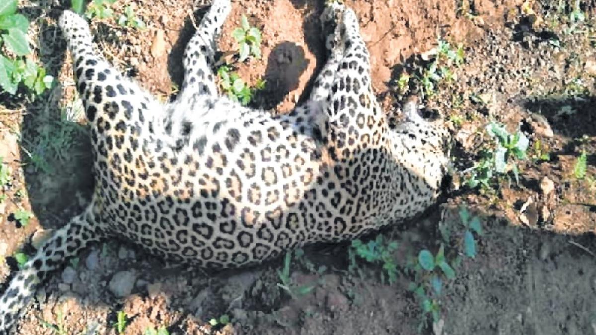Mumbai: Female leopard found dead in Thane jungle