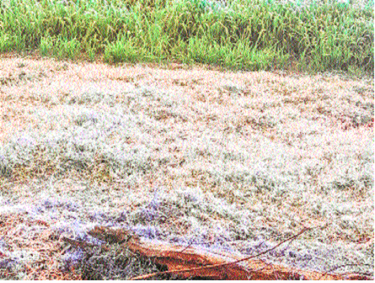 Ujjain: Frost hits rabi crop in many areas
