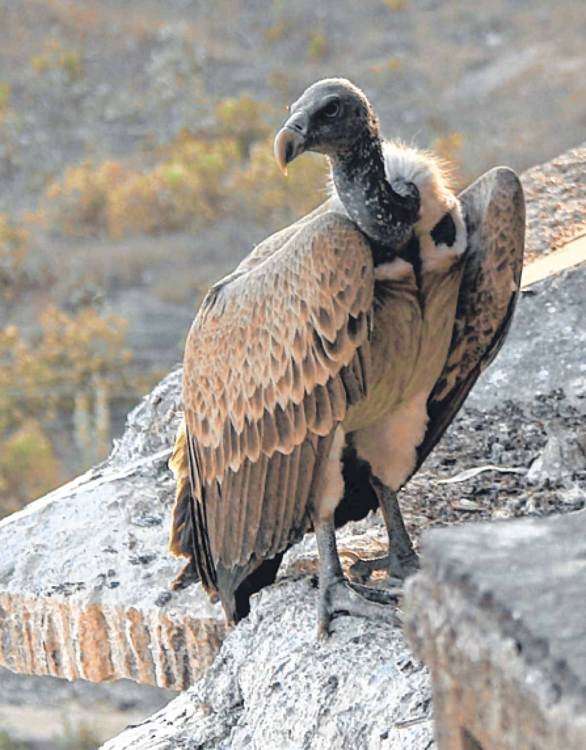 Bhopal: Highest population of vulture recorded in MP