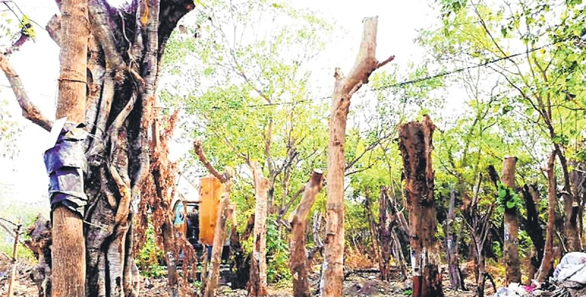 Mumbai: MMRCL pulled up for shoddy transplantation of trees