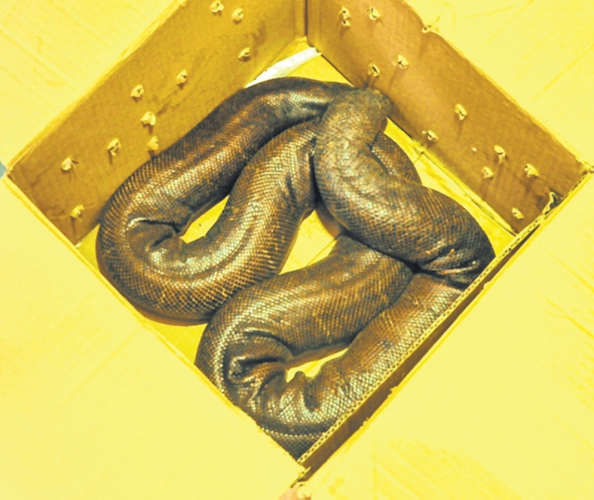 Indore: Endangered two-headed snake seized, one arrested