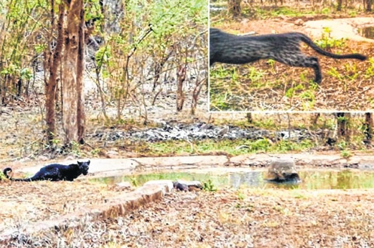 Maharashtra: Black panther spotted in Tadoba-Andhari