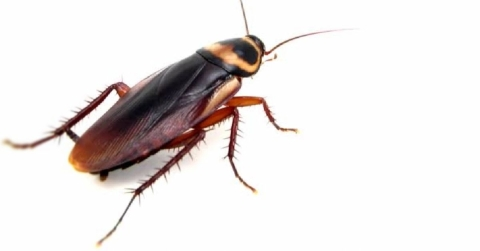 5 Tips On How To Get Rid Of Cockroaches
