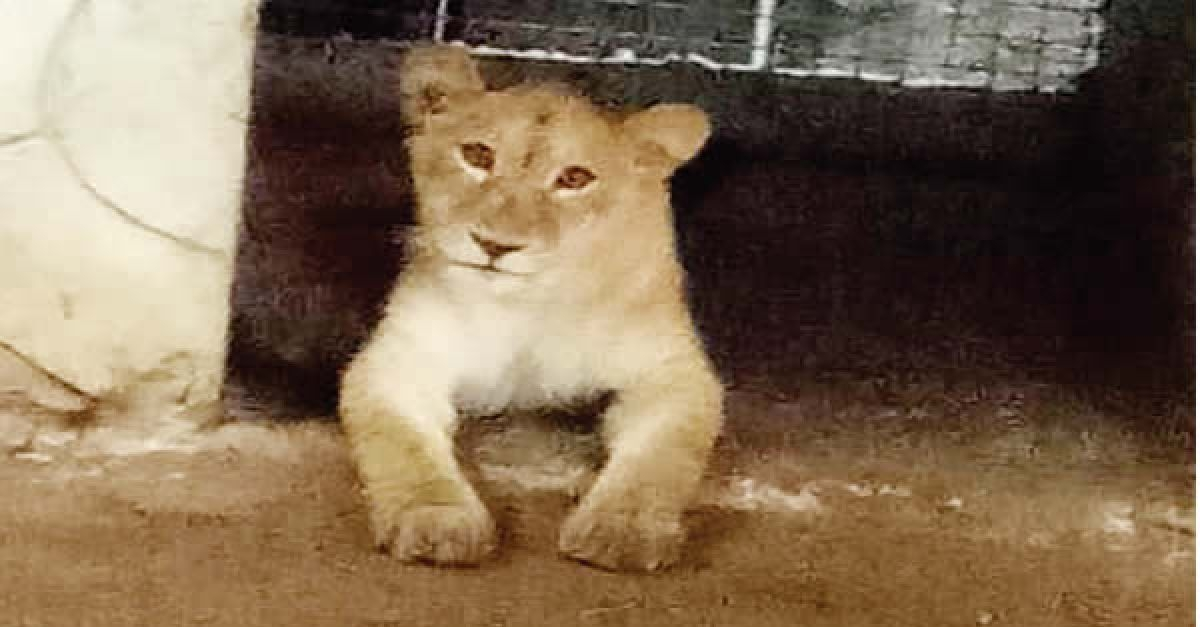 Tension As Residents Discover Lion In Lagos Community