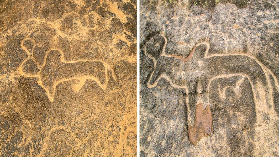 Cattle - bull (L) cow (R) on petroglyphs in Pansaimol