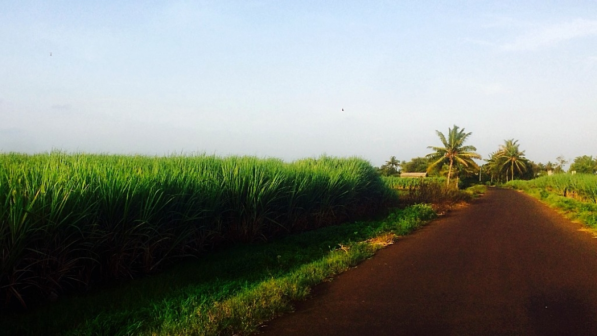 The road to Khidrapur, flanked by tall sugarcane