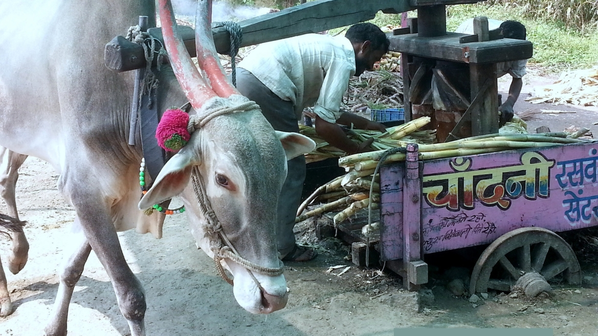 An oxen used to press sugarcane juice