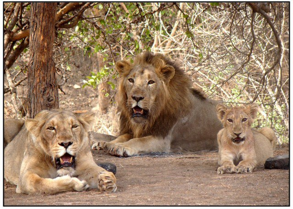 Asiatic Lions at the Gir Forest and National Park