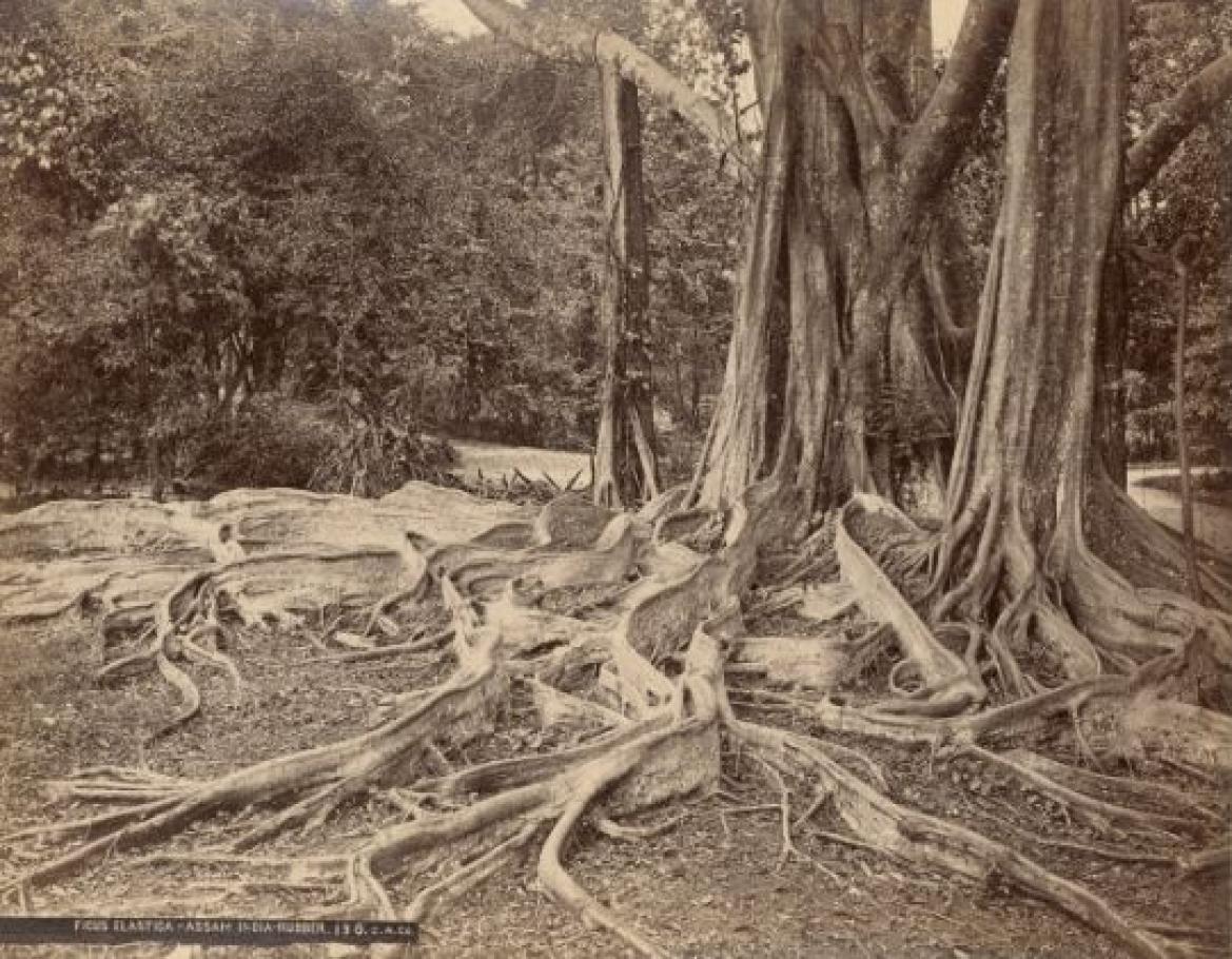 Ficus elastica, Assam