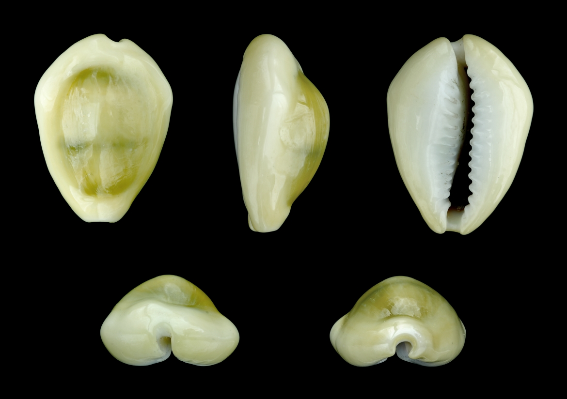 Monetaria moneta, common name the money cowries