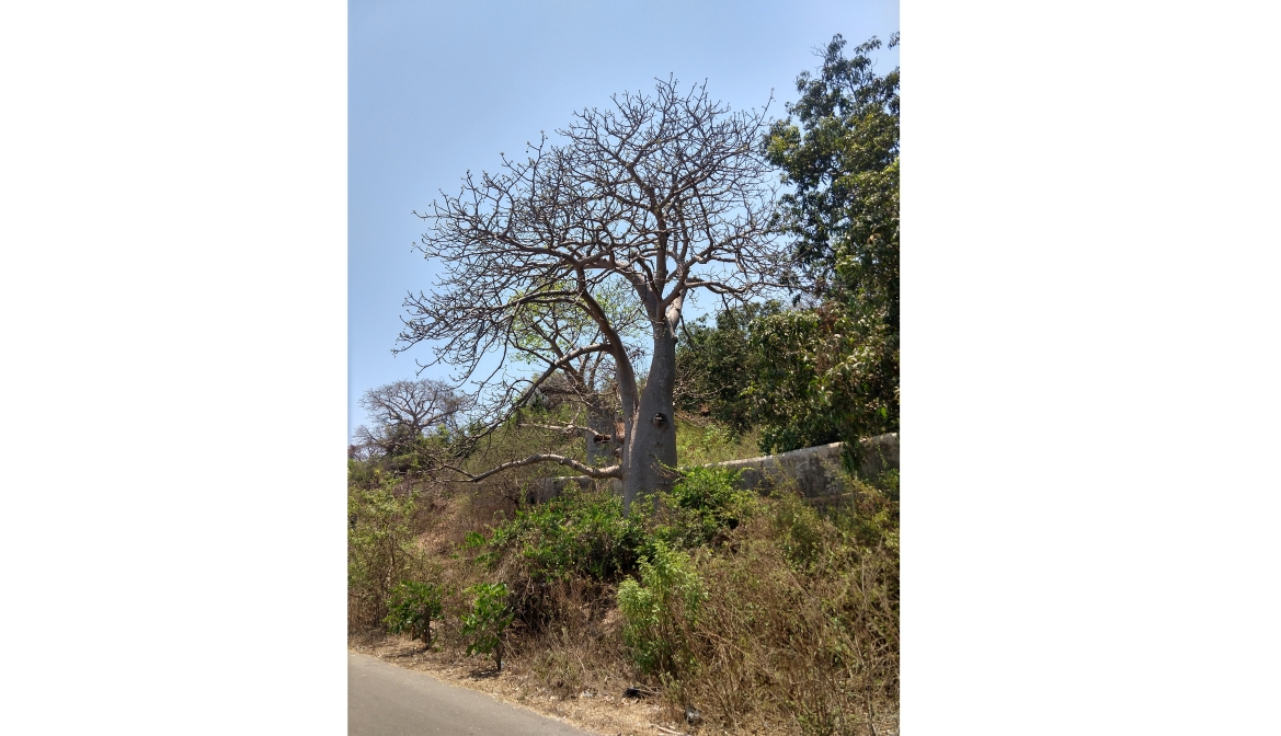 Baobab tree in Murud