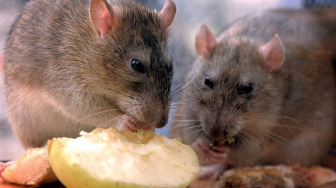 Authorities issue caution as Kozhikode grapples with rat fever; toll reaches 14
