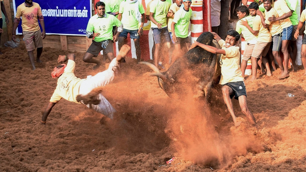 Youngsters attempt to tame a bull at Alaganllaur Jallikattu near Madurai on February 9