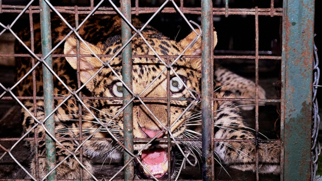 Zoo officials rescued a leopard from a house at Maligaon in Guwahati. The leopard was kept in a cage and brought to the Assam State Zoo cum Botanical garden.