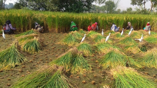 Labourers at a Mathura Farm are busy harvesting crops.