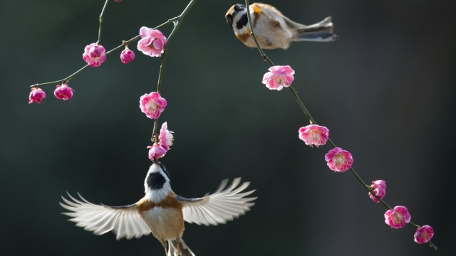 Birds are seen amid plum blossoms in Wuxi City, east China's Jiangsu Province.