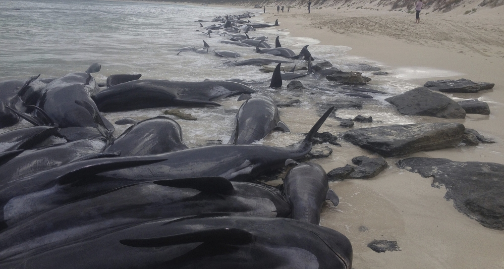 Image of 150 short-finned pilot whales who became beached at Hamelin Bay, in Western Australia's south. A shark warning has been issued after more than 150 short-finned pilot whales became stranded in Western Australia's south