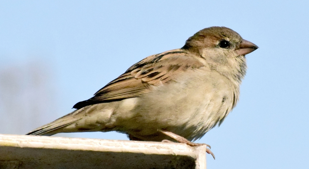 A sparrow relaxes on a cement railing in Mathura. March 20 is observed as World Sparrow Day.
