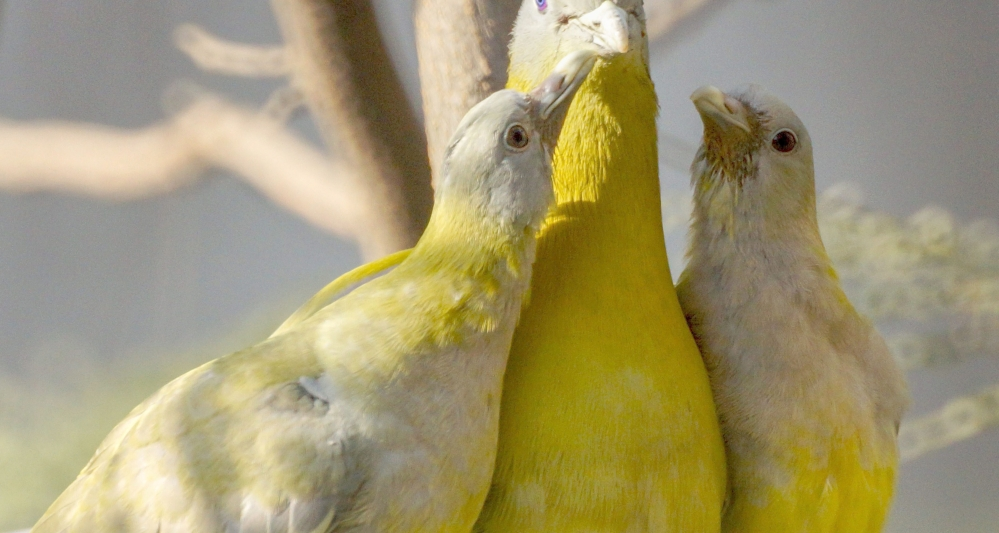 A yellow footed green pigeon feeds its chicks atop a tree, in New Delhi.
