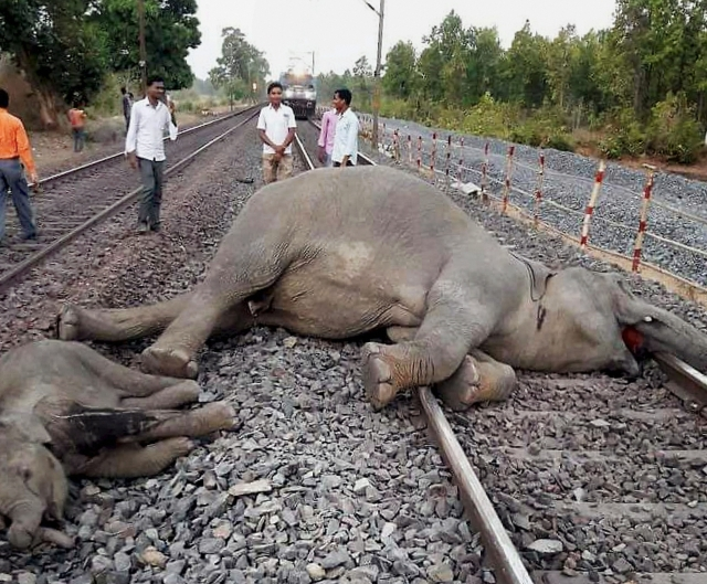The carcasses of the two elephants which were killed after being hit by a speeding train near Baamda Station in Chaibasa district of Jharkhand on Monday. 4 elephants were killed after a train hit them.