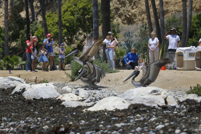 A trio of California Brown Pelicans are released by members of International Bird Rescue in the beachfront city of San Pedro, Calif.