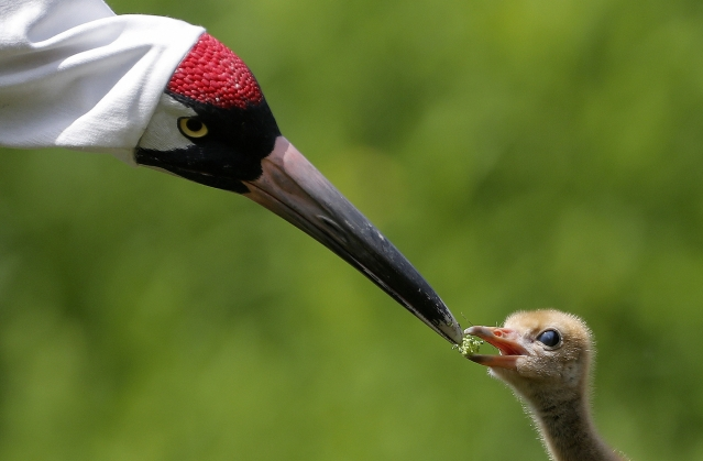 """A keeper wearing a """"crane suit,"""" to resemble a parent whooping crane, feeds a recently born chick, a critically endangered species, with her hand in a puppet, at the Audubon Nature Institute's Species Survival Center in New Orleans."""