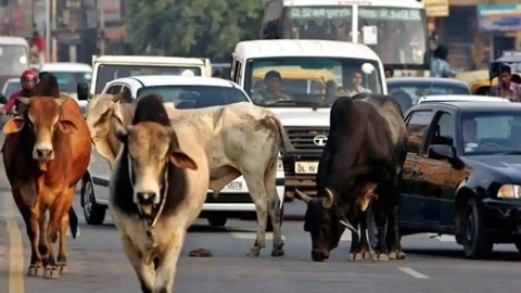 Ban on cow slaughter causing cattle problems in Lord Krishna land