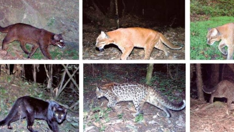 The various colour morphs of the Asiatic golden cat: (clockwise from top) cinnamon, golden, gray, melanistic, ocelot and tightly rosetted