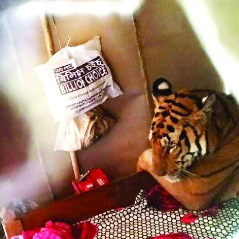 Tigress in bed: trespasser or a victim?