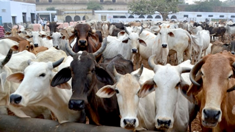 UP to donate cows, Bihar to insure milch animals
