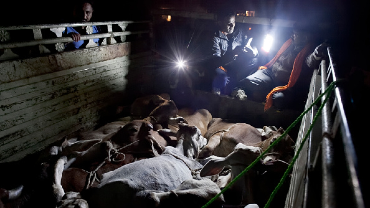 ट्रकों में ले जाए जा रहे मवेशियों की जांच करते कथित गौ-रक्षक / फोटो : Getty Images