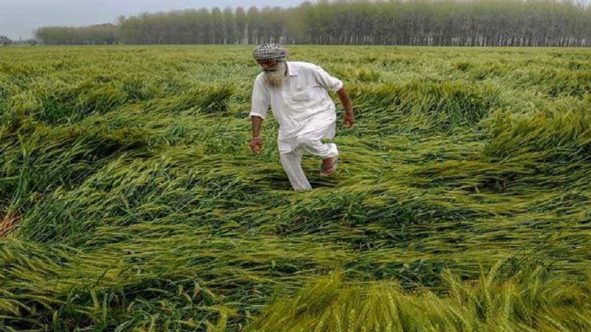पंजाब में बेमौसम बरसात और ओलावृष्टि का किसानों पर कहर, बड़ी तादाद में फसलें तबाह