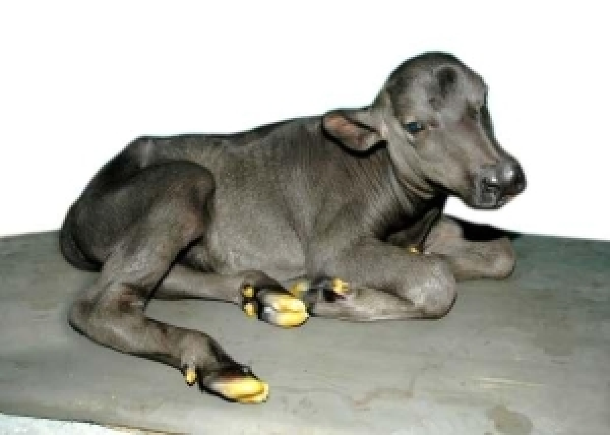 World's second cloned buffalo calf born at NDRI, Karnal