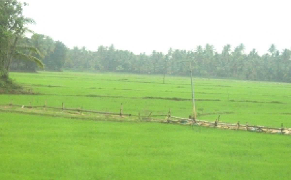 A rice field in Kerala. NetIndian Photo/Vinita Abraham