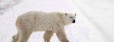 Polar bear kills Canadian man protecting his children