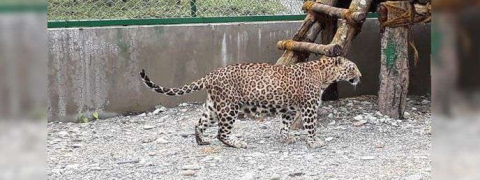 Two leopards to arrive at Bengal Safari Park