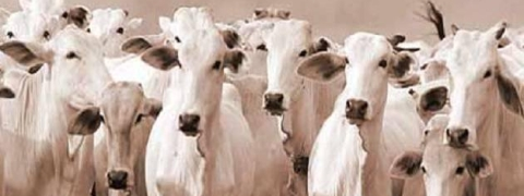 Jamiat Ulama wants obstruction free cattle business in Tripura