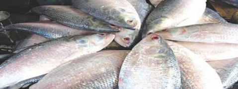 Bangladesh in strong position in hilsa production