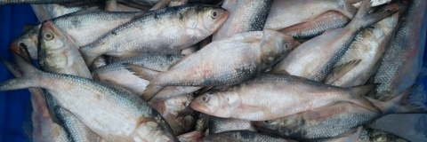 Bengal Govt imposes ban on catching young hilsa