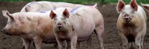 Japan finds first swine fever case in 26 years, but not African fever