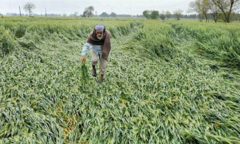 Widespread rain in Punjab hits crops