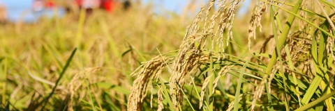 New world record set by China's super hybrid rice output