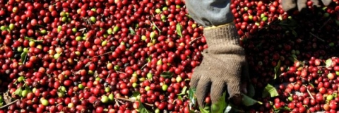 Heavy rain and floods in Kodagu to affect India's coffee production